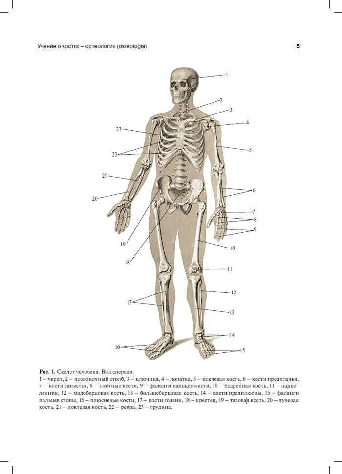 человека атлас скачать бесплатно анатомии с по картинками